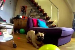 en hund etter ballonger