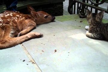 kattunge og babyhjort